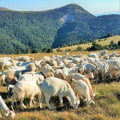 Les chèvres en estive