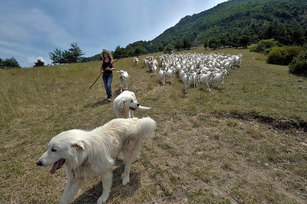 Catherine avec les patous et le troupeau - (@Rolland QUADRINI)